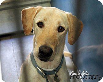 Labrador Retriever Dog for adoption in Phoenix, Arizona - Anthem