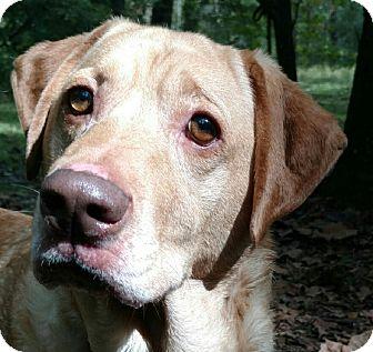 Labrador Retriever Mix Dog for adoption in Capon Bridge, West Virginia - Gadget