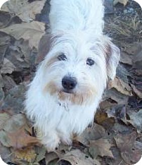 Parson Russell Terrier/Jack Russell Terrier Mix Dog for adoption in Hedgesville, West Virginia - Jack