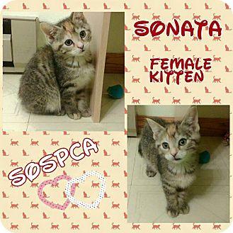 Domestic Shorthair Kitten for adoption in Zanesville, Ohio - Sonata