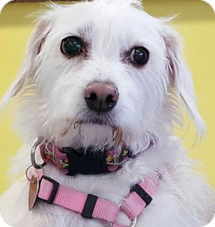Terrier (Unknown Type, Medium) Mix Dog for adoption in North Las Vegas, Nevada - Natasha