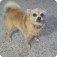 Chihuahua Mix Dog for adoption in Rustburg, Virginia - FiFi - Fostered