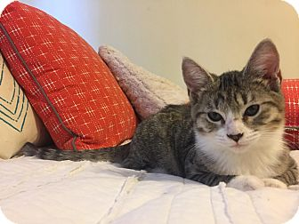 Domestic Shorthair Kitten for adoption in Los Angeles, California - Brynn aka Meatball