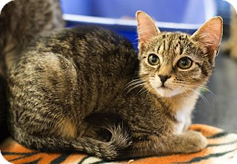 Domestic Shorthair Kitten for adoption in Mooresville, North Carolina - A..  Chica