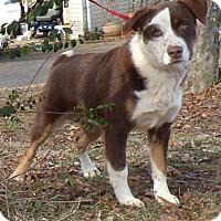 Adopt A Pet :: Sarge - Bedminster, NJ