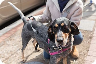 Bluetick Coonhound Mix Dog for adoption in Washington, D.C. - Delilah