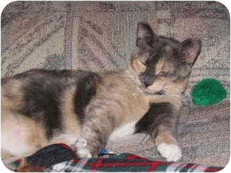 Calico Cat for adoption in Orlando, Florida - Callie Muffin