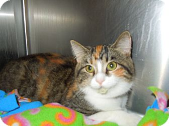 Domestic Shorthair Cat for adoption in Medina, Ohio - Callie