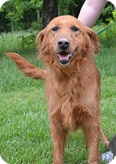 Golden Retriever Dog for adoption in Brattleboro, Vermont - Dutchess