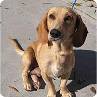 Adopt A Pet :: Soleil - Cumming, GA