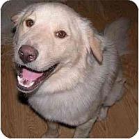 Adopt A Pet :: Lobo - Gilbert, AZ