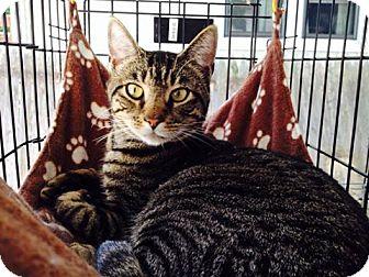 Domestic Mediumhair Cat for adoption in Staten Island, New York - Buddy