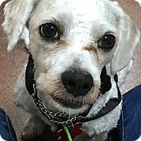 Adopt A Pet :: Scotty - Thousand Oaks, CA