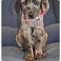 Adopt A Pet :: Petronila - Broomfield, CO