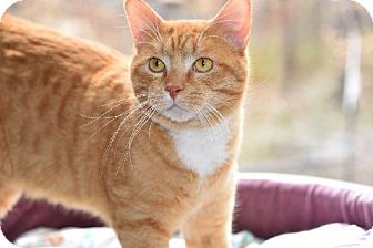 Manx Cat for adoption in Liberty, North Carolina - Flynn - Adoption pending
