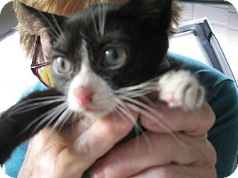 Colorpoint Shorthair Kitten for adoption in New york, New York - Agnes