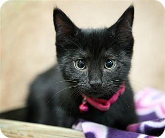 Domestic Shorthair Kitten for adoption in Fairfax Station, Virginia - Ruby R