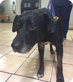 Labrador Retriever Dog for adoption in Flower Mound, Texas - Tuff