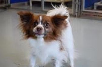 Chihuahua Dog for adoption in Mount Gretna, Pennsylvania - Tinka