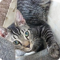 Domestic Shorthair Cat for adoption in Conway, South Carolina - Daniel