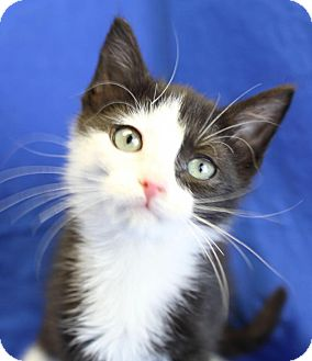 Domestic Shorthair Kitten for adoption in Winston-Salem, North Carolina - Ajax