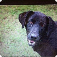 Labrador Retriever Mix Dog for adoption in Austin, Arkansas - Jett