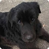 Shar Pei Mix Dog for adoption in Springfield, Missouri - Margaret