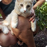 Domestic Mediumhair Cat for adoption in Virginia Beach, Virginia - Cheshire