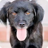 Flat-Coated Retriever Mix Dog for adoption in New Canaan, Connecticut - Raine