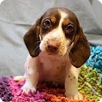 Adopt A Pet :: Percival - Bedminster, NJ