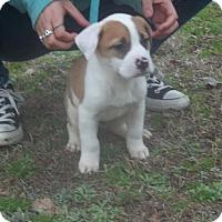 Adopt A Pet :: Sonoma - Rocky Mount, NC