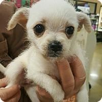 Adopt A Pet :: Lassie - Alhambra, CA