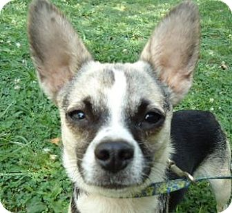Chihuahua Mix Dog for adoption in Plainfield, Connecticut - Cammy