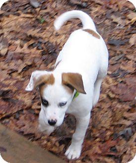 Hound (Unknown Type) Mix Puppy for adoption in Richmond, Virginia - Boo