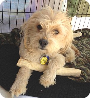 Maltese/Terrier (Unknown Type, Small) Mix Dog for adoption in Phoenix, Arizona - Carson