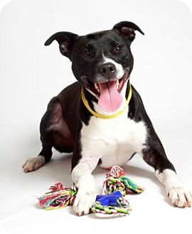 Labrador Retriever/American Staffordshire Terrier Mix Dog for adoption in Quitman, Texas - TRACY