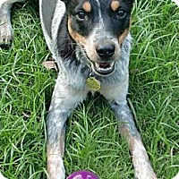 Australian Cattle Dog/Jack Russell Terrier Mix Dog for adoption in Youngsville, Louisiana - Danny