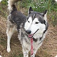 Adopt A Pet :: Olli - Augusta County, VA