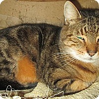 Adopt A Pet :: Big Tiger - Monroe, CT