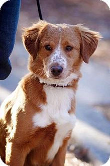 Australian Shepherd/Border Collie Mix Dog for adoption in Marion, North Carolina - Bae