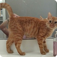 Domestic Shorthair Cat for adoption in Chandler, Arizona - Maui