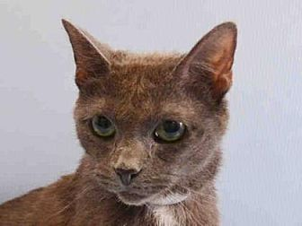Russian Blue Cat for adoption in New York, New York - Moe