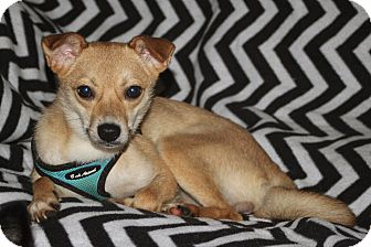 Jindo Mix Dog for adoption in Bluemont, Virginia - CINDY