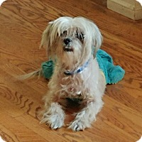 Maltese/Shih Tzu Mix Dog for adoption in Covina, California - Miriam (Mimi)