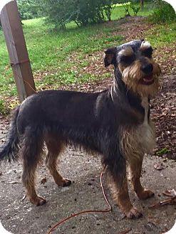 Miniature Schnauzer/Terrier (Unknown Type, Medium) Mix Dog for adoption in Brunswick, Maine - Poppy