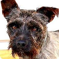 Adopt A Pet :: WATSON(ADORABLE