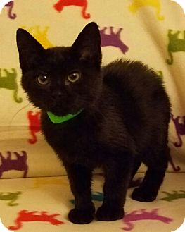 Domestic Shorthair Kitten for adoption in Aurora, Colorado - Harley