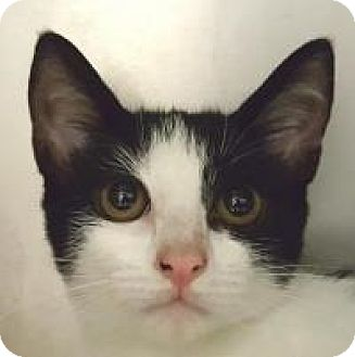 Domestic Shorthair Cat for adoption in Friendswood, Texas - Cleo