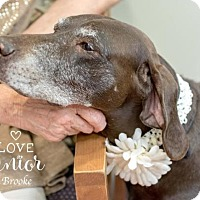 German Shorthaired Pointer/Labrador Retriever Mix Dog for adoption in Seattle, Washington - Brook