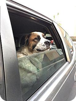 St. Bernard Mix Dog for adoption in Mount Pleasant, South Carolina - Max